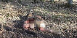 """Tragiczne wydarzenie na Podlasiu. Wilki zaatakowały """"króla Puszczy"""""""