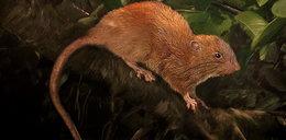 To nie mit. Naukowcy odkryli szczura giganta!