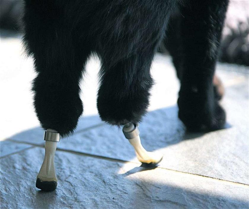 Kotek z protezą łap. Tak żyje