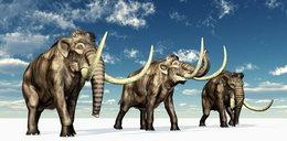 """Chcą przywrócić do życia mamuty. """"To możliwe w ciągu dwóch lat"""""""