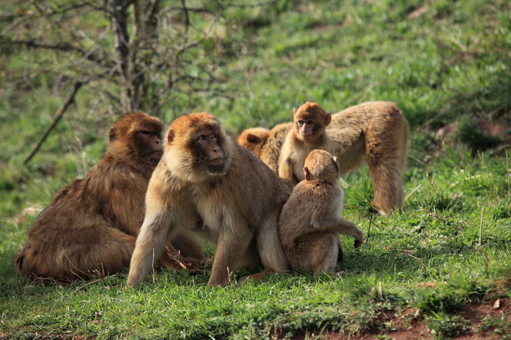 Barbary macaques shutterstock_270970082