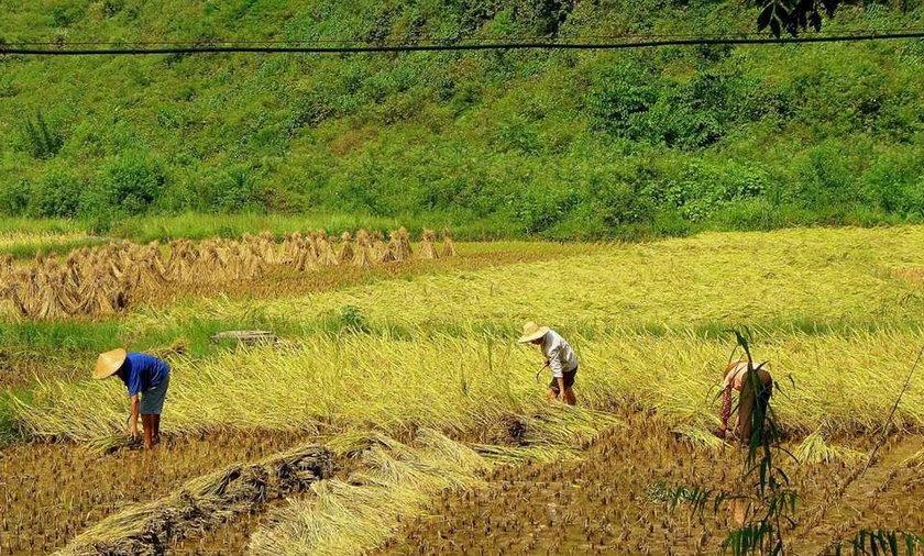 Chinczycy będą produkować krew z ryżu! Jak to?