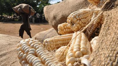 Kenya now gear up to import 4 million bags of maize setting the stage for fierce clash with local farmers
