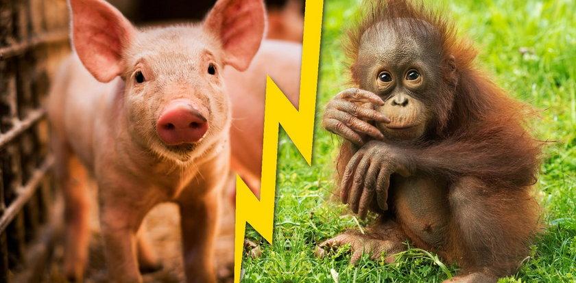 Chińczycy skrzyżowali świnię z małpą. Świat w szoku