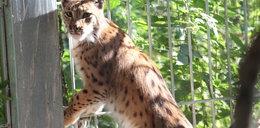 Zdrowy kociak wrócił do lasu, reportaż wideo