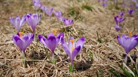 W Tatrzańskim Parku Narodowym kwitną krokusy