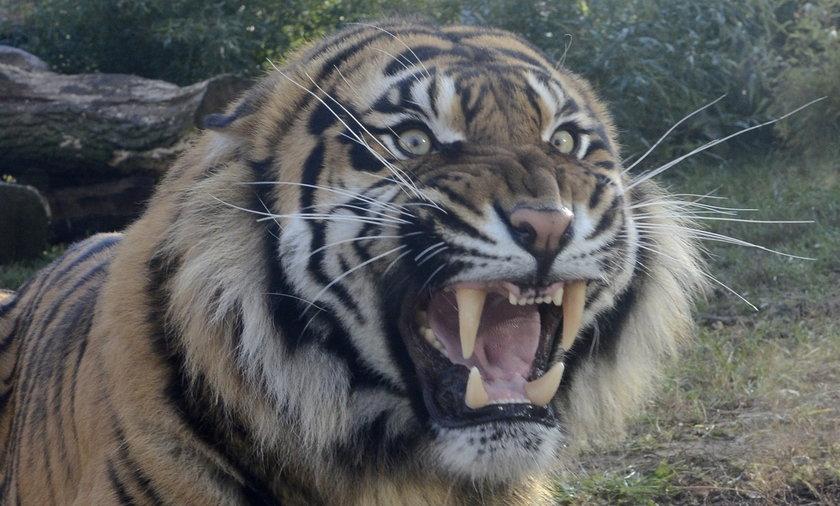 Tygrys odgryzł małemu dziecku palec w zoo na Krymie.