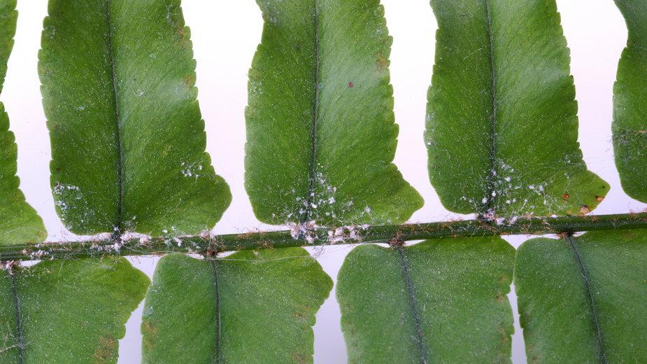 Wełnowce to jedne z najpopularniejszych szkodników roślin -  7monarda/stock.adobe.com