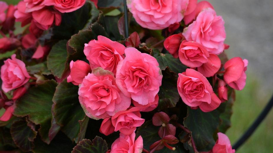 Begonie kwitną obficie i efektownie - nylesmc/pixabay.com