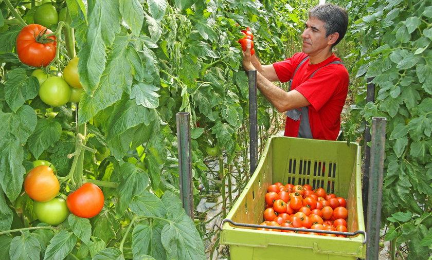 Jak rozpoznać polskie pomidory?
