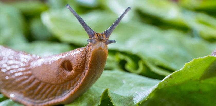 Jakie choroby roznoszą ślimaki? Nigdy nie bierz ich do ręki!