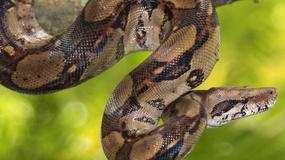 Dwumetrowy wąż boa w piwnicy bloku w Jastrzębiu Zdroju