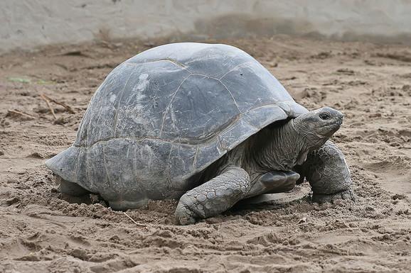 Aldabra kornjača