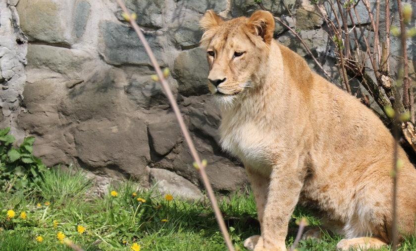 Nowa lwica w Śląskim Ogrodzie Zoologicznym. Jest bardzo młoda. Ma  niecałe dwa lata.