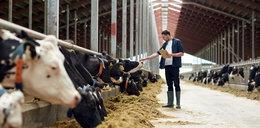 Pomogą hodowcom za publiczne pieniądze. Bo wołowina jest za tania