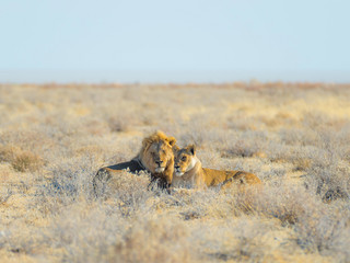 lew Couple of Lions lying down in the bush, Africa
