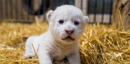 Biała lwiczka przyszła na świat w zoo w Borysewie