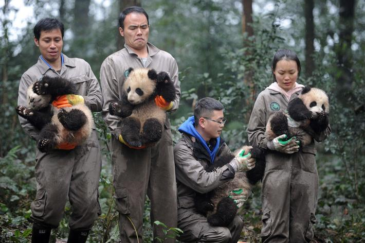 Researchers hold giant panda cubs during an event to celebrate Chinas Lunar New Year in a research