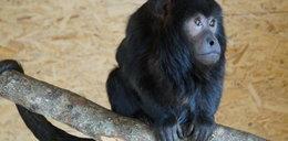 Małpa buntowniczka uciekła z zoo koło Słupska. Właściciele proszą o pomoc