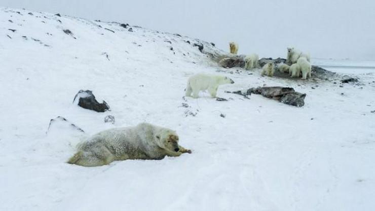 Polarni medvedi u Rusiji