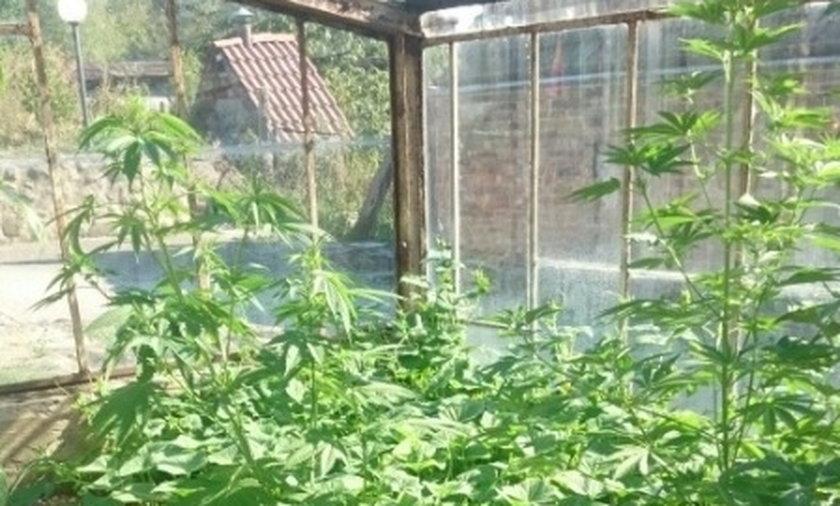 Hodował marihuanę w szklarni