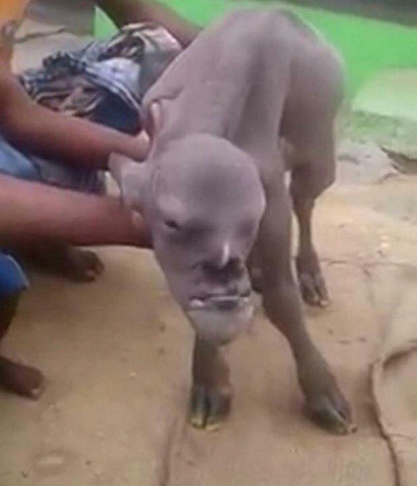 Taka koza urodziła się w Indiach