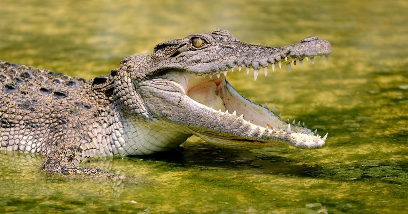 Mięso z krokodyla będzie dostępne w wybranych hurtowniach Makro w Polsce