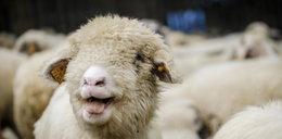 Producenci jagnięciny potrzebują pomocy