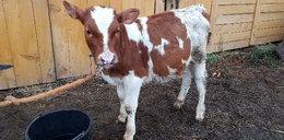 Ukradli byka rolnikowi z Małopolski. Złodziei rozpoznał w telewizji