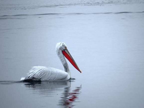 Na Balkanu ima tek nekoliko stotina jedinki: Dalmatinski pelikan ili kudravi nesit
