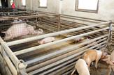 svinjogojstvo  semberija svinje
