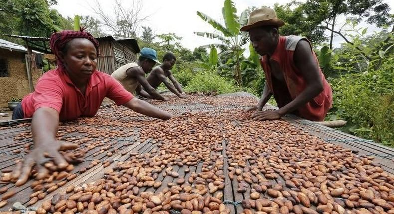 People work with cocoa beans in Enchi, in a file photo. Picture taken June 17, 2014.  REUTERS/Thierry Gouegnon