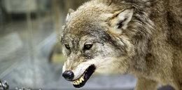 Wilki atakują na Pomorzu!