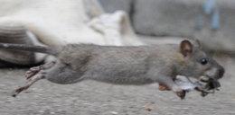 2,5-latka szła z mamą do sklepu, pogryzł ją szczur!