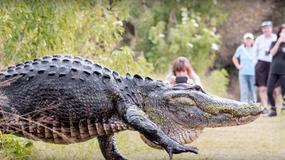 Bliskie spotkanie z ogromnym aligatorem