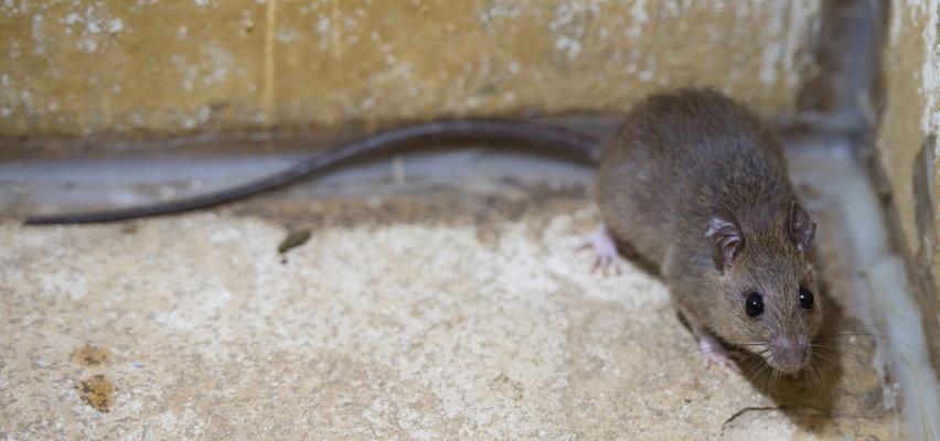 Szczur wkradł się do sali parlamentu. Przerwano zgromadzenie!