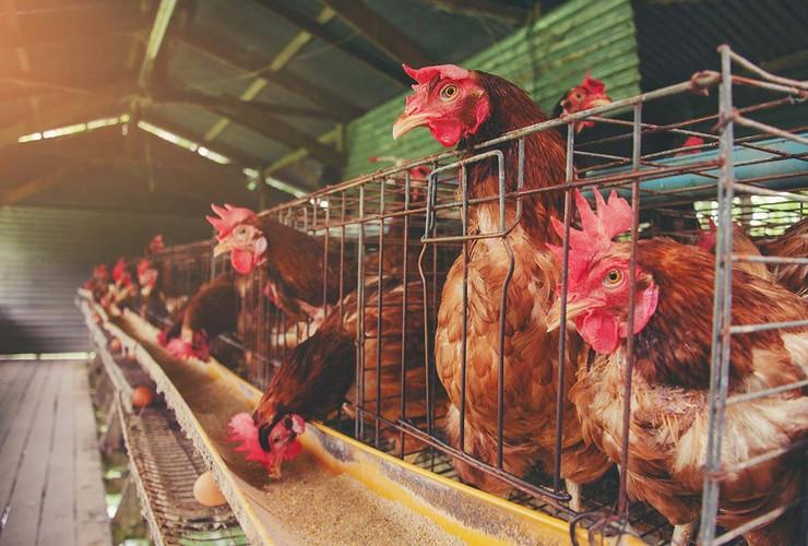 Koke nosilje kokoške pokrivalica