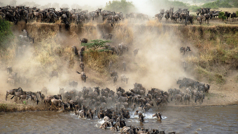 Thousands of wildebeests crossing the Mara River.