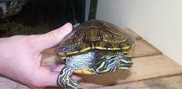Żółw Zenon szuka domu