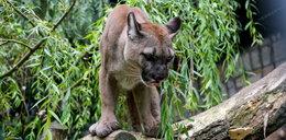 Puma Nubia jednak zostanie w Chorzowie. Ale to jeszcze nie koniec walki właściciela