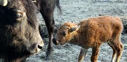 Jest imię dla bizonka! Nazywa się...