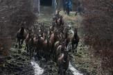 Puštanje jelena u Bosutski basen