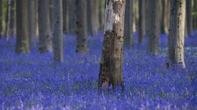 Kwiatowe kobierce w baśniowym lesie Hallerbos