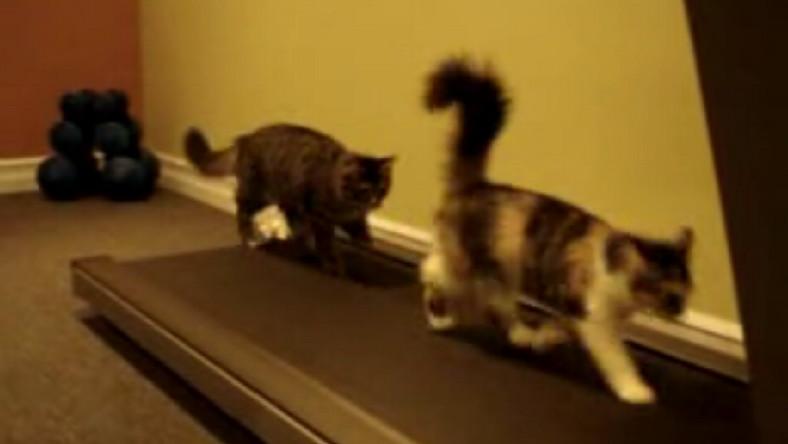 Koty palą tłuszczyk na bieżni