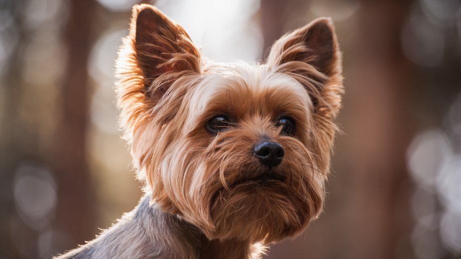 Yorki to bardzo popularne psy - fesenko/stock.adobe.com