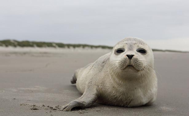 Członkowie WWF apelują, aby w razie natrafienia na plaży na żywe lub martwe zwierzę zadzwonić na numer Błękitnego Patrolu (795 536 009) lub do Stacji Morskiej (601 889 940).