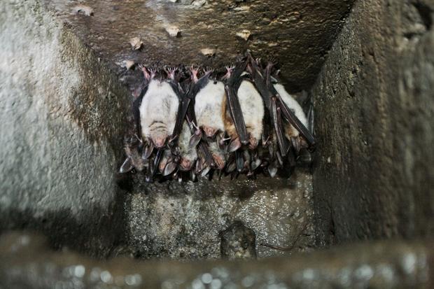 Hibernujące nietoperze