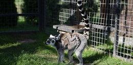 Wielka zazdrość w stadzie lemurów z zoo w Borysewie