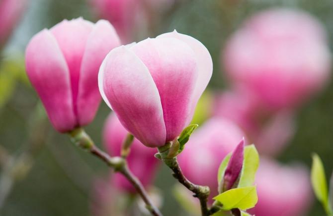 Magnolije su najlepše u proleće