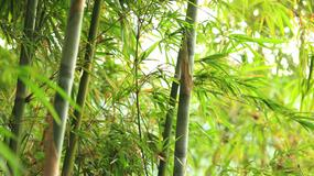 Chiński alkohol prosto z łodygi bambusa